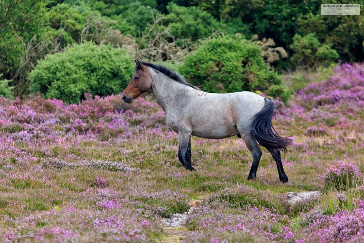 Heath Pony