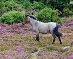 Heath Pony