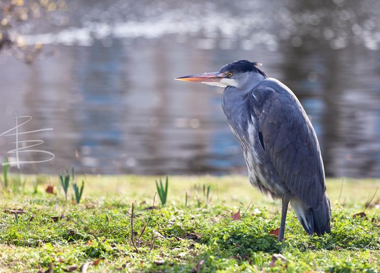 Spring Heron