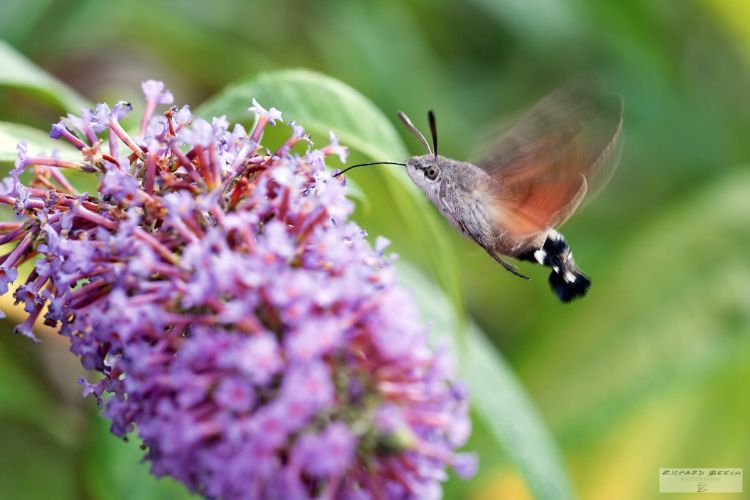 Humming-Bird Hawk-Moth feeding on Buddleia.