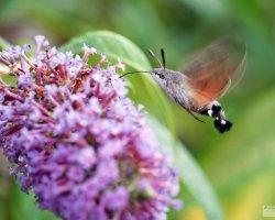 Humming-Bird Hawk-Moth feeding on Buddleia.