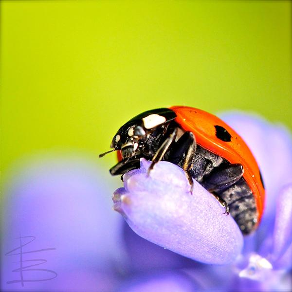 Ladybird on Blue