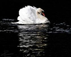 Low-Key Swan