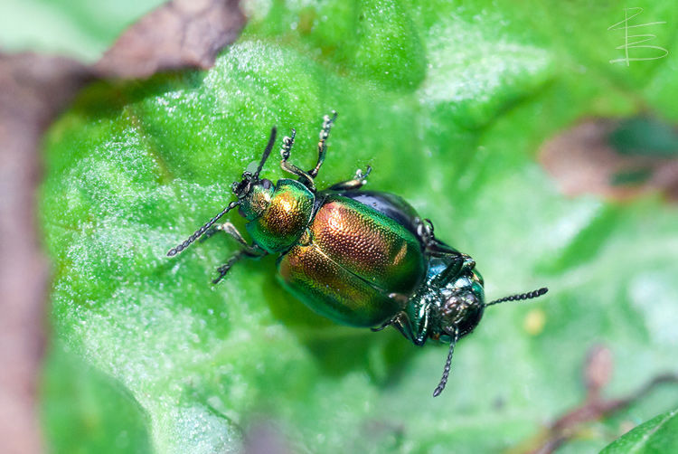 Green Dock Beetles Mating