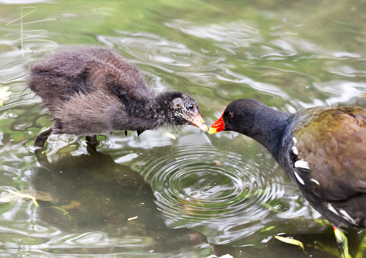 Feeding Time for Baby Moorhen