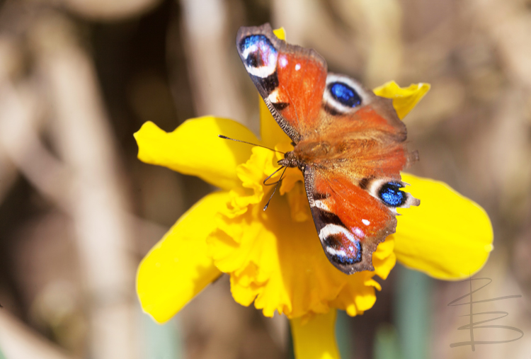 Peacock Butterfly on Daffodil