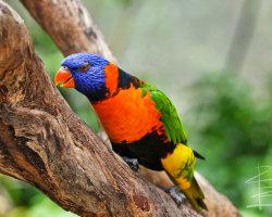 Rainbow Lorikeet in Tree
