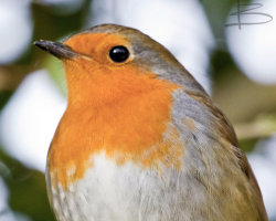 Robin Close-up