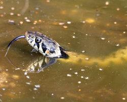 Swimming Snake