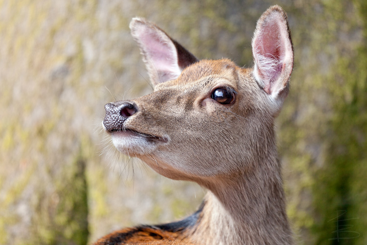 Sika Deer Close-Up