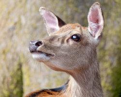 Sika Deer Close-Up