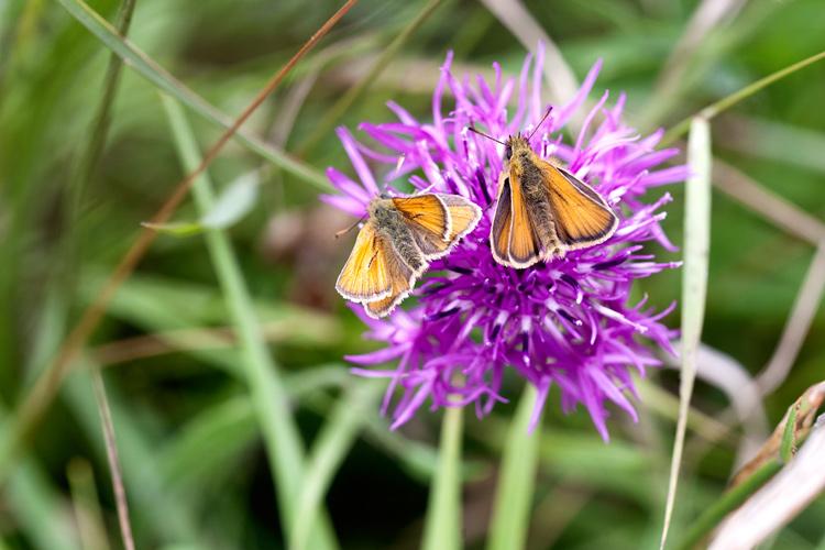 Skipper Butterflies
