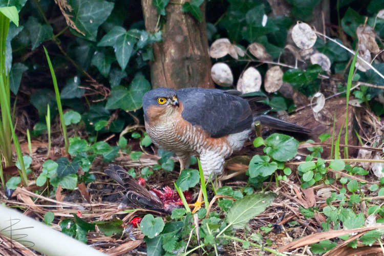 Sparrowhawk and Starling 2