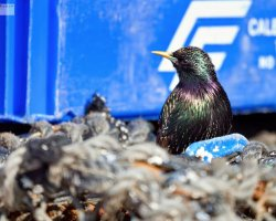 Starling by fishing equipment
