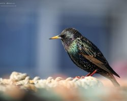 Starling on Fishing Nets