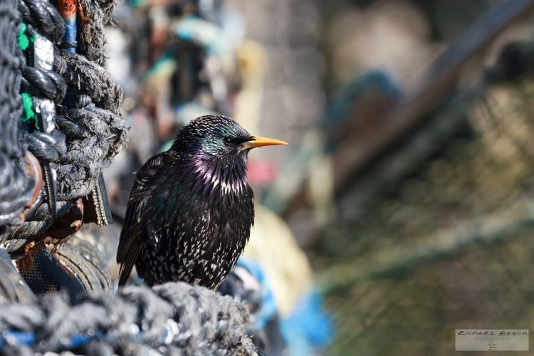 Starling on fishing pots