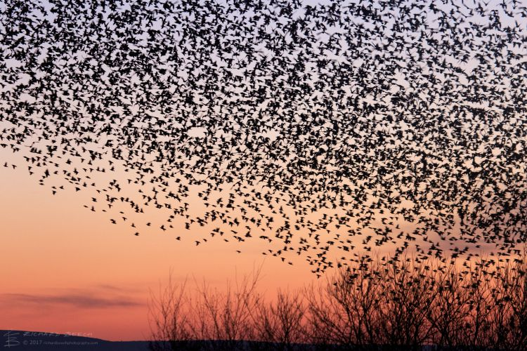 Starling Murmuration at Studland 1