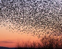 Starling Murmuration at Studland 1