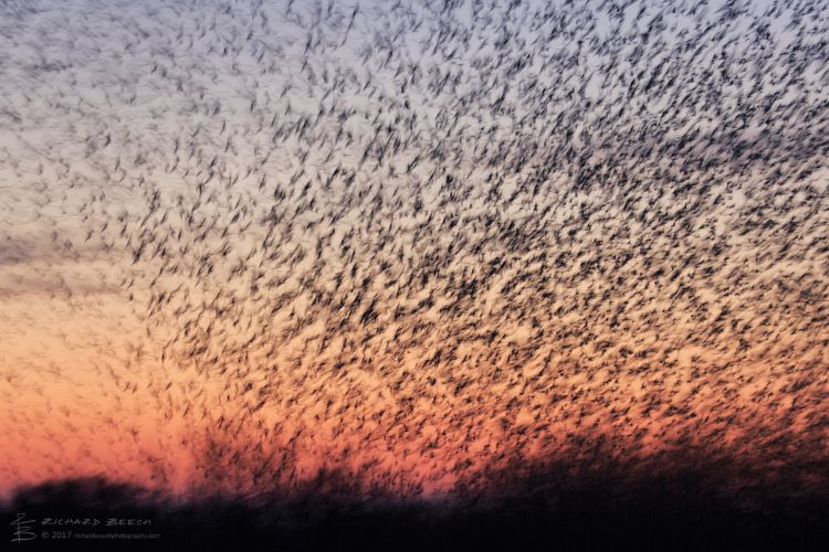 Starling Murmuration at Studland 3