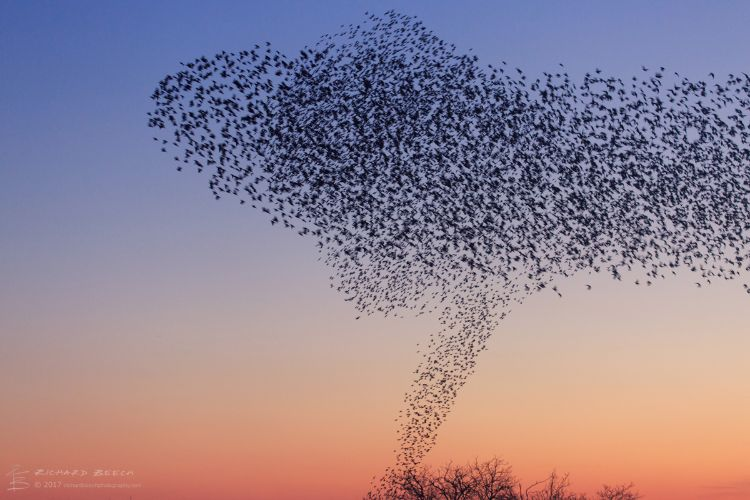 Starling Murmuration at Studland 7
