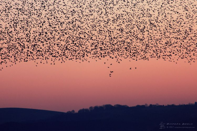 Starling Murmuration at Studland 11