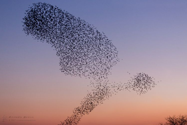 Starling Murmuration at Studland 4