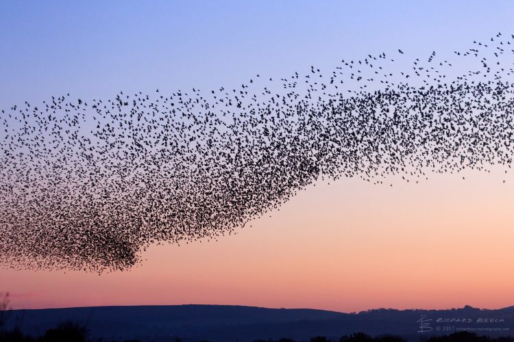 Starling Murmuration at Studland 2
