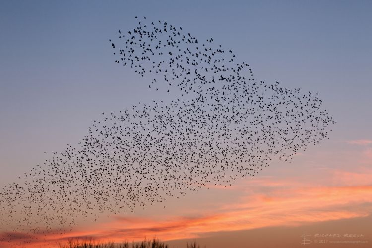 Starling Murmuration at Studland 5