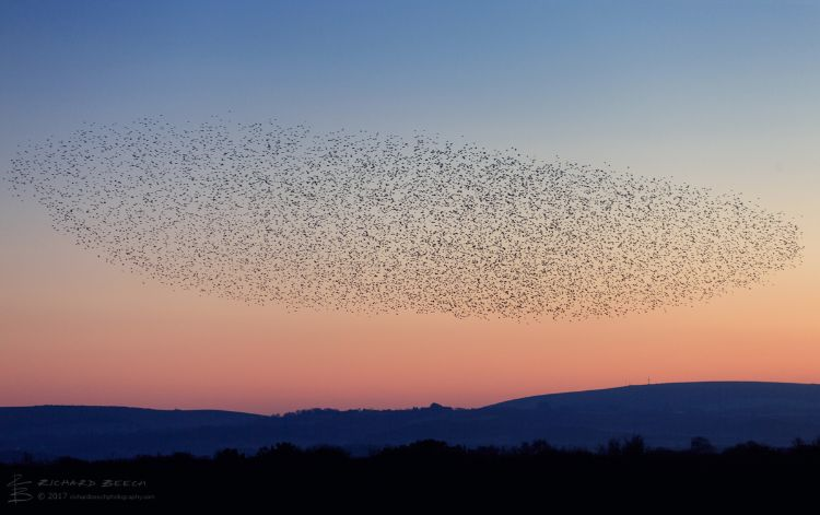Starling Murmuration at Studland 6
