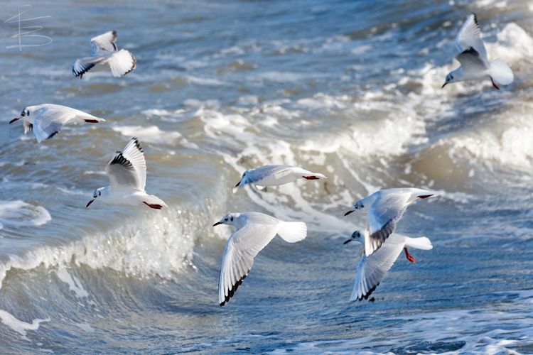 Gulls and Waves