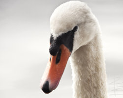 Light Swan