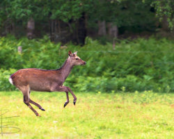 Swift as a Deer