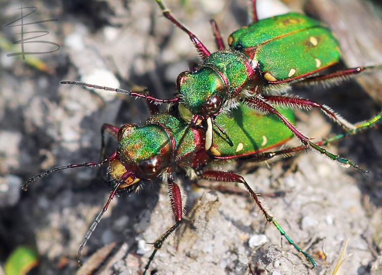 Mating Green Tiger Beetles