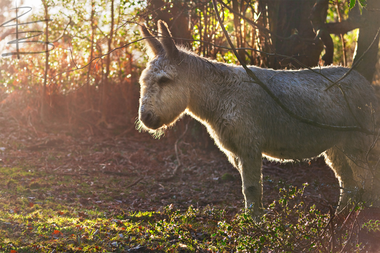 New Forest Wild Donkey