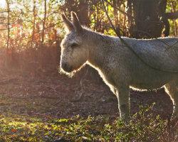 New Forest Wild Donkey