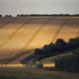 Cornfields, Wiltshire