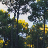 Early morning light in the treetops, Messanges