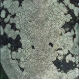Lichen on a rock, Pembrokeshire