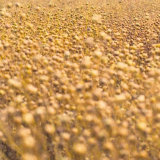 Linseed Crop, Frampton Mansell (2)