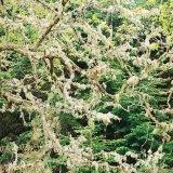 Pine Trees with Moss, Black Isle, Scotland