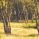 Pine forest, Messanges