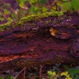 Rotting tree, Amberley