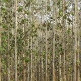 Rubber plantation, Muong Noi, Laos
