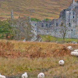 Kilchurn Castle And Sheep