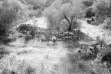 Olive trees and grasses, Calig
