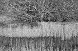 Reeds in winter sun, Woodbridge