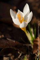 Crocus sieberi 'Bowles White'-3
