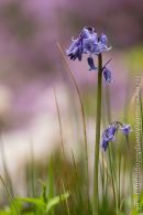 Portrait of a Bluebell