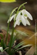 Galanthus -Anglesey Abbey--2
