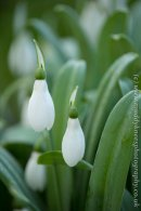 Galanthus 'Marjorie Brown'
